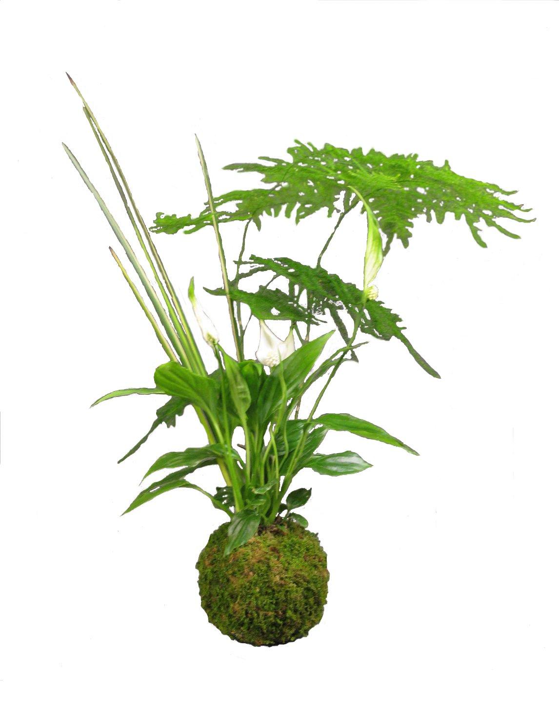 Aquaphyte aquaphyte for Plante kokedama