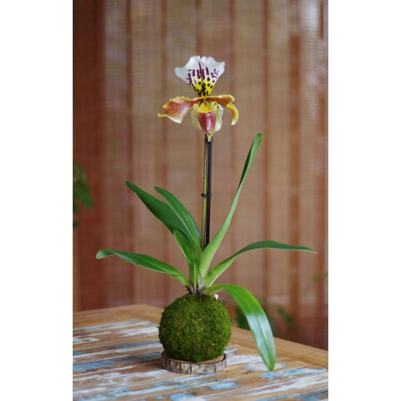Orchidée Sabot Vénus