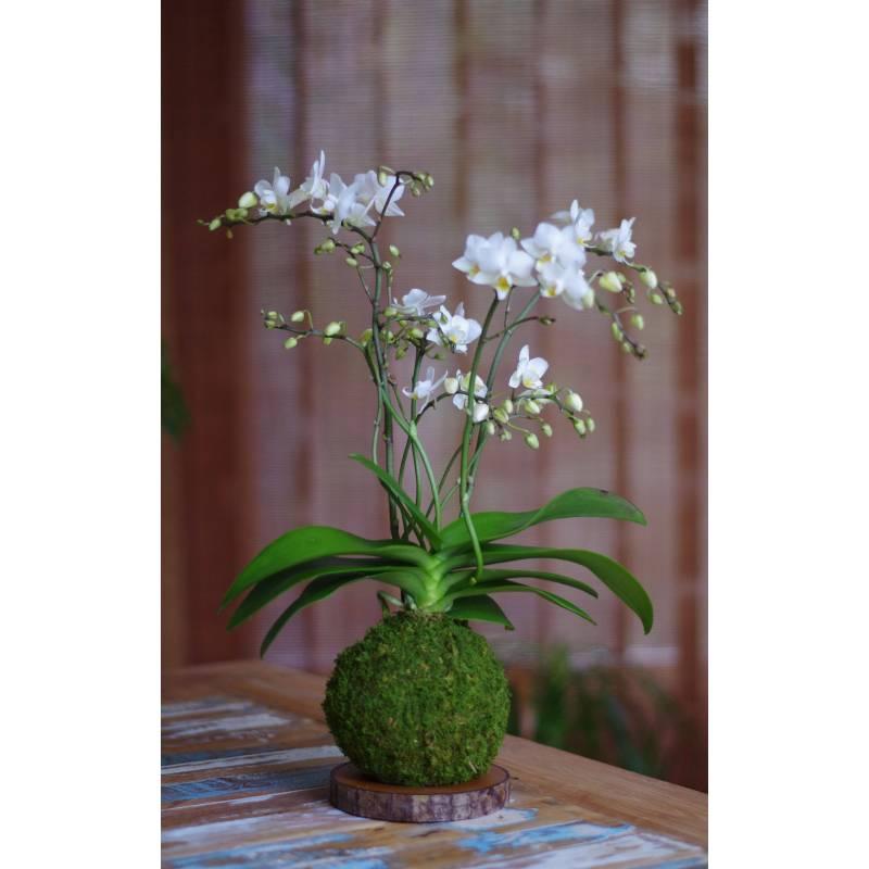 Orchidée Wild