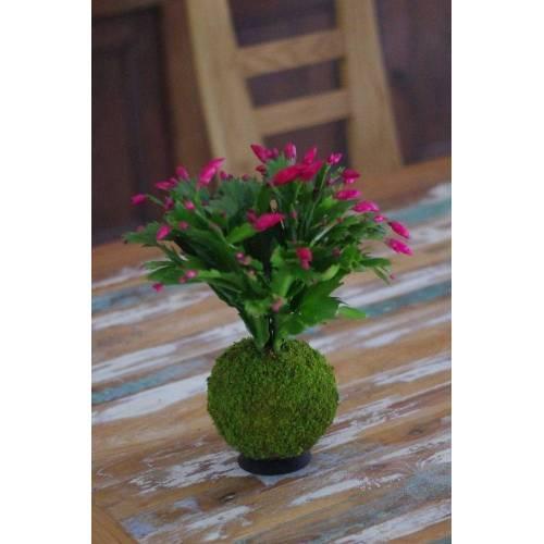 Cactus de Noël rouge